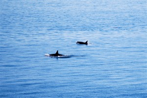 Even-more-orcas-passing-Orca-Pass